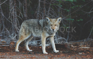 Beautiful Wild Coyote - Symbiostock Express Demo