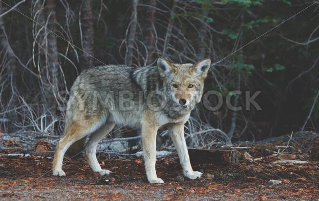 Beautiful Wild Coyote - Symbiostock Express Demo