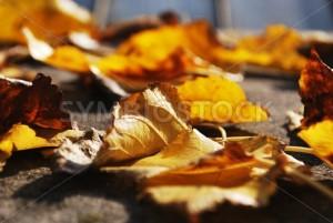 Fallen Autumn Leaves - Symbiostock Express Demo