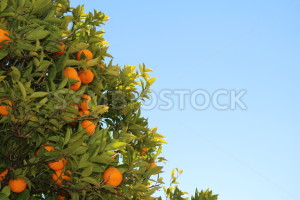 Fresh Oranges Growing on a Tree - Symbiostock Express Demo