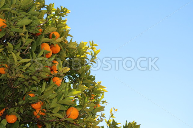 Fresh Oranges Growing on a Tree - Symbiostock Express Demo