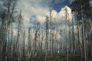 Tall Leafless Trees - Symbiostock Express Demo