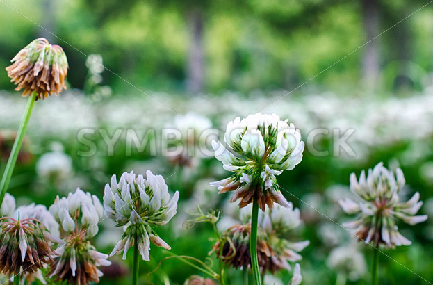 White Wildflowers - Symbiostock Express Demo