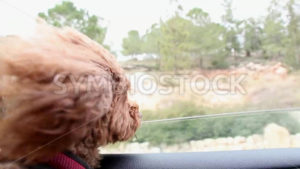 Dog in Car - Symbiostock Express Demo